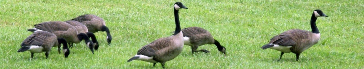 Affordable Goose Control – Goose Removal